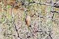 Asian Desert Warbler (Sylvia nana) (8079439385).jpg