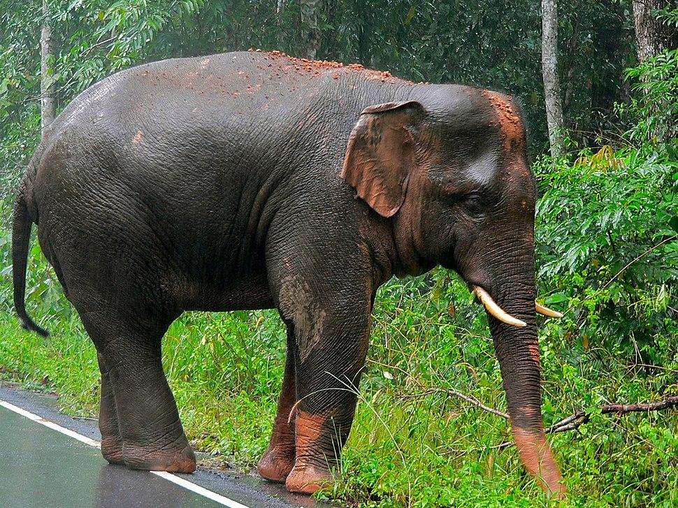 Asian Elephant (Elephas maximus) (7852943934)