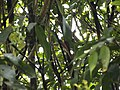 Asian paradise flycatcher111.JPG