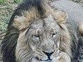 Asiatic Lion 11.jpg