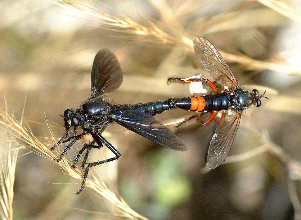 Asilidae Dasypogon diadema fg03