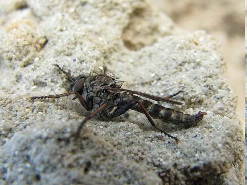 Unknow specimen of en:Asilidae (Robert fly). Shoot near bayonne, France