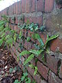Asplenium scolopendrium and other fern species on brick wall.jpg