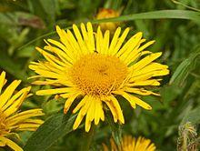 220px-Asteraceae_-_Inula_hirta.JPG