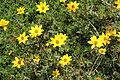 Asteraceae sp.-IMG 7550.JPG