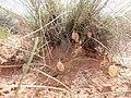 Astragalus ceramicus var. ceramicus - 34829466145.jpg