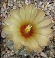 Astrophytum asterias 160988.jpg