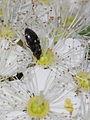 Attagenus pellio (Dermestidae) - carpet beetle (7813937006).jpg