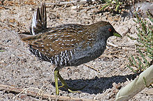 Australian Crake (Porzana fluminea) from side.jpg