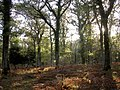 Autumn afternoon in the Amberwood Inclosure, New Forest - geograph.org.uk - 81219.jpg
