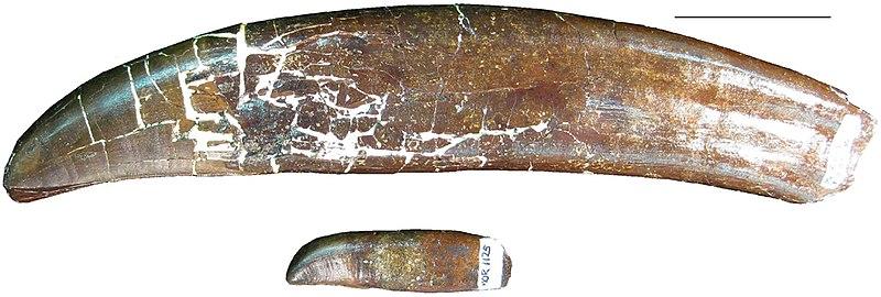 File:B-rex teeth.jpg