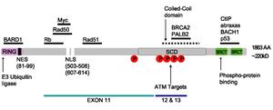 BRCA1 - Image: BRCA1part B