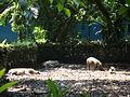 Babi hutan di Zoo Negara, Malaysia.JPG