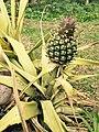 Baby Ananas.jpg