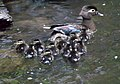 Baby Wood Ducks (4605142990).jpg