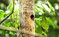 Baby common mynah in an Areca palm nest.jpg