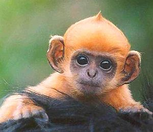 English: Baby ginger monkey