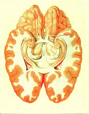 Limbic system - Cross section of the human brain showing parts of the limbic system from below.  Traité d'Anatomie et de Physiologie (1786)