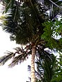 Badagry, city of Coconut.jpg
