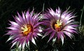 Badlands Flowers - Escobaria vivipara - Badlands National Park (9007de52-3705-4eed-bc80-111104a35555).jpg