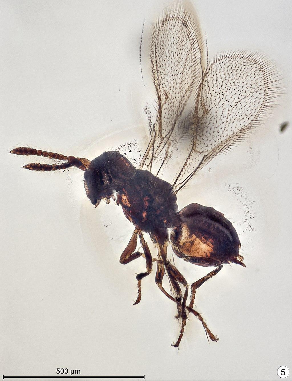 Baeomorpha liorum allotype male.jpg