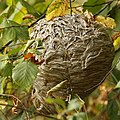 Baldfaced Hornet Nest, Sept 2012.jpg