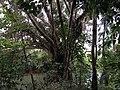 Balete Tree.jpg