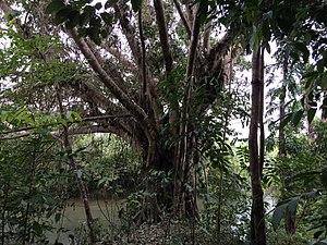Balete tree - A balete tree near Tagkawayan in southern Luzon, Philippines