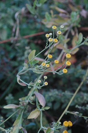 Tanacetum balsamita - Image: Balsamita major