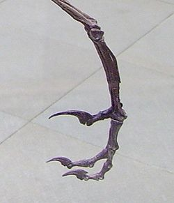 Bambiraptor specialised claw (left hind).1.jpg