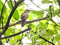 Banded bay cuckoo (ചെങ്കുയിൽ ) - 2.jpg
