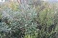 Banksia integrifolia L.f. (AM AK361283-4).jpg