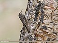 Bar-tailed Tree-creeper (Certhia himalayana) (35615098592).jpg