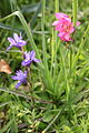 Barbary Nut and Field Gladiolus Alcalar Portugal 22.02.16 (24830881789).jpg