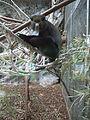 Barcelona-Zoo-Mono de nariz blanca (Cercopithecus nictitans).jpg