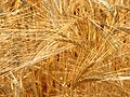 Barley - panoramio.jpg
