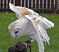 Barn Owl4 (5086600863).jpg