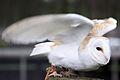 Barn Owl - Woburn Safari Park (4565708410).jpg