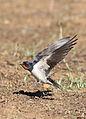 Barn swallow, Hirundo rustica, at Suikerbosrand Nature Reserve, Gauteng, South Africa (22746568324).jpg