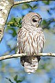 Barred Owl on branch.jpg