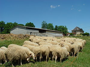 Basco-béarnaise - Image: Basco Béarnaise troupeau