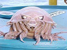 Giant Isopod Wikipedia