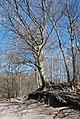 Baum Gieselautal Albersdorf.jpg