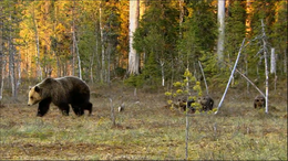 Bear walking away from deep forest