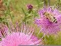 Bee On A Flower (137180029).jpeg