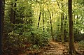 Beech Woods - geograph.org.uk - 9887.jpg