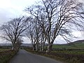 Beeches by the road to Church Hill - geograph.org.uk - 612173.jpg