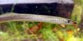 Beekprik (Lampetra planeri).png