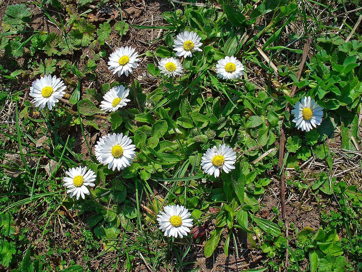 Synonyme de plante vivace for Plante synonyme