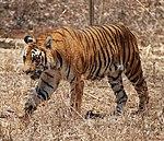 Bengal Tiger Karnataka.jpg